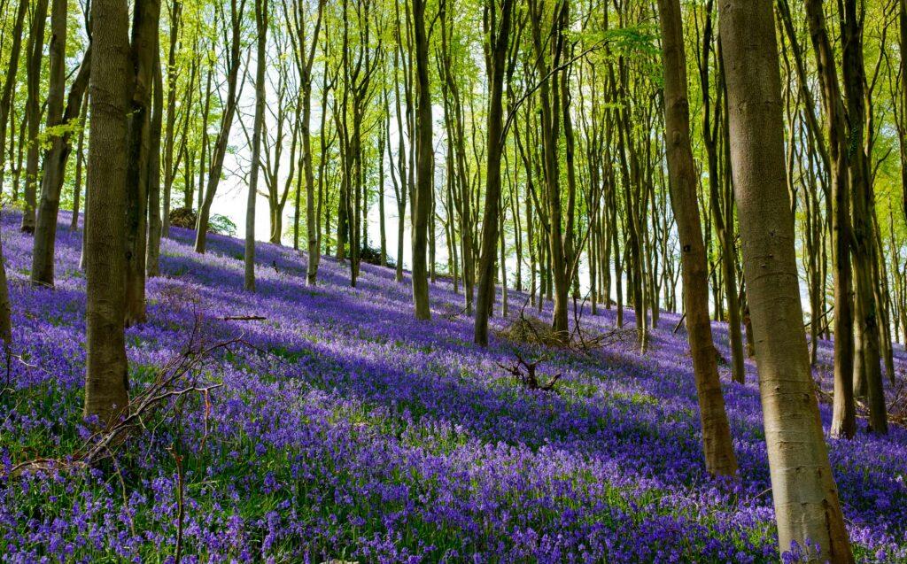 Bluebells in Prior's Wood, Portbury