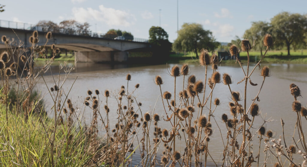 Teasels on the bank of the Avon